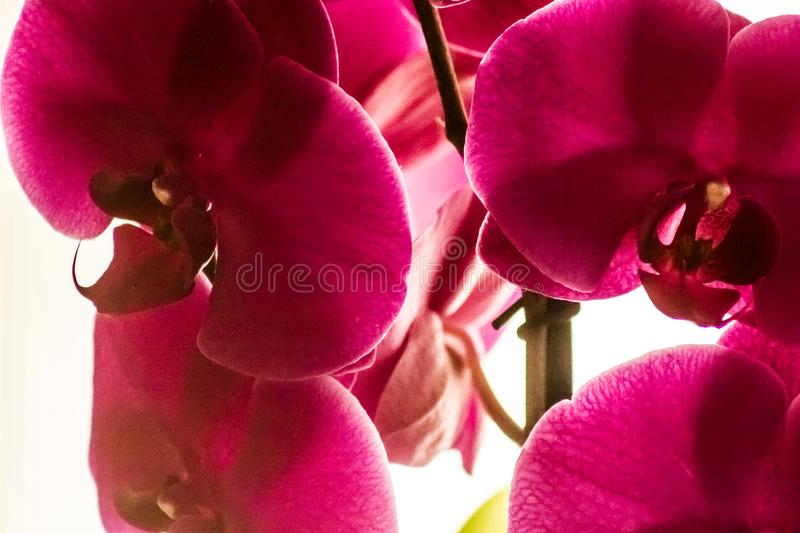 Domestic orchids of violet color royalty free stock photography