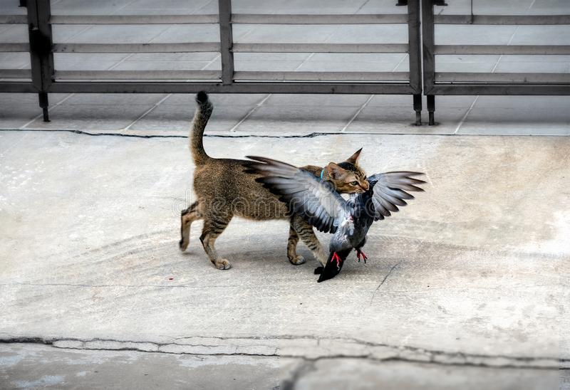 Domestic Pet Cat Hunts and Kills a Pigeon royalty free stock photo