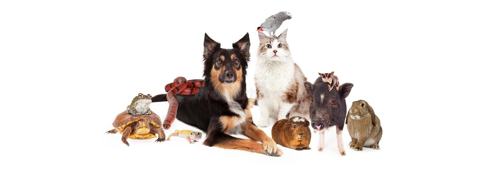 Domestic Pet Group Sized fo Social Media. A large group of domestic pets including a dog, cat, bird, guinea pig, pot-bellied pig, sugar glider, bunny, lizard stock images