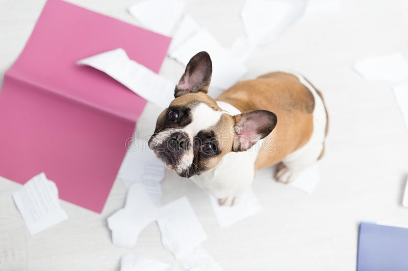 A domestic pet has taken on a home. Torn documents on white floor. Pet care abstract photo. Small guilty dog with funny face. royalty free stock photo