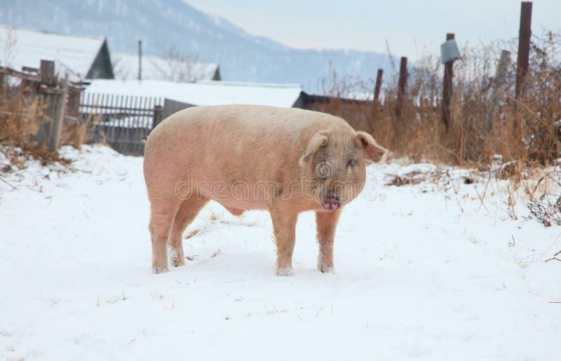 Domestic pig royalty free stock photos
