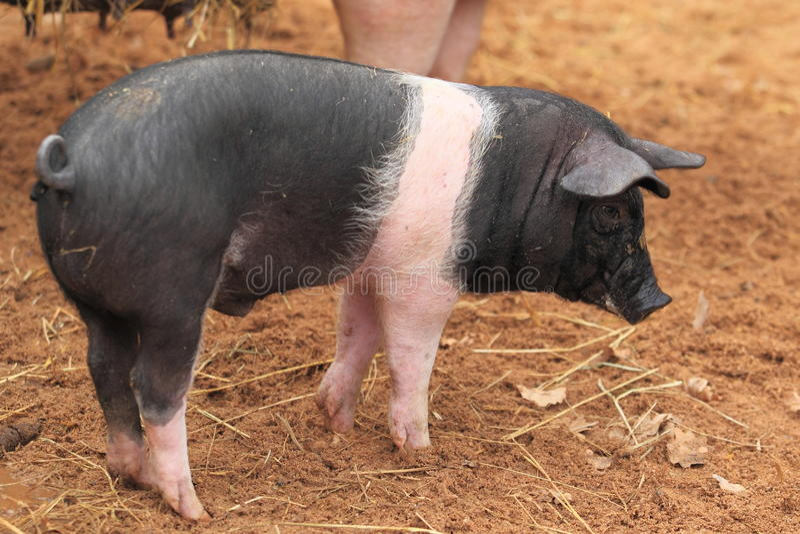 Domestic pig stock image