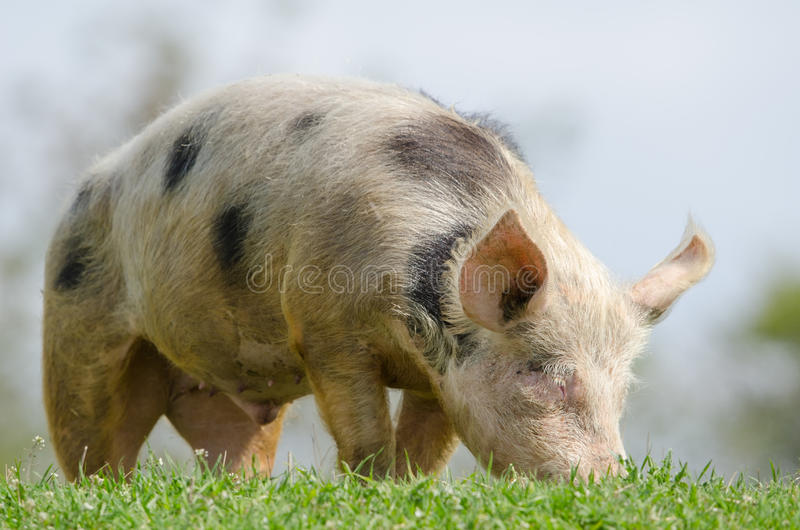 Download Domestic Pig Stock Images - Image: 24774584