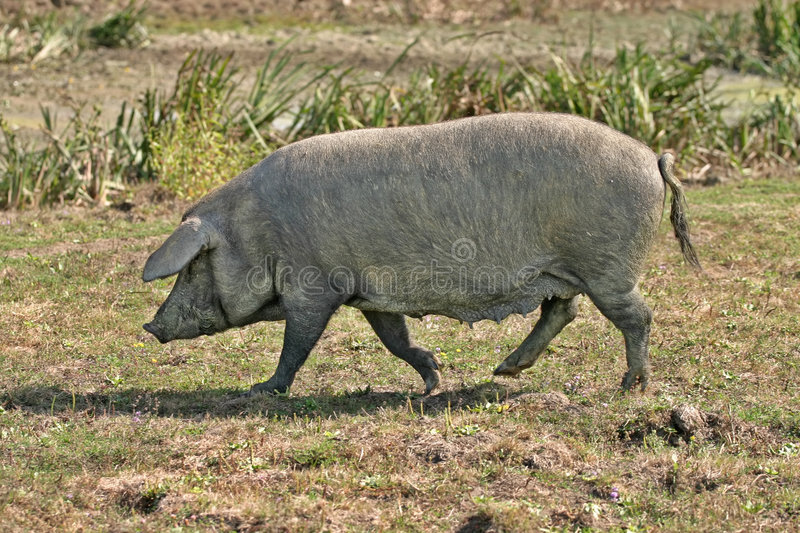 Domestic Pig Royalty Free Stock Image
