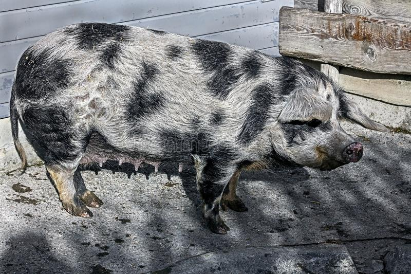 Domestic pig 5. Domestic pig on the ground near the fence in its enclosure royalty free stock photography