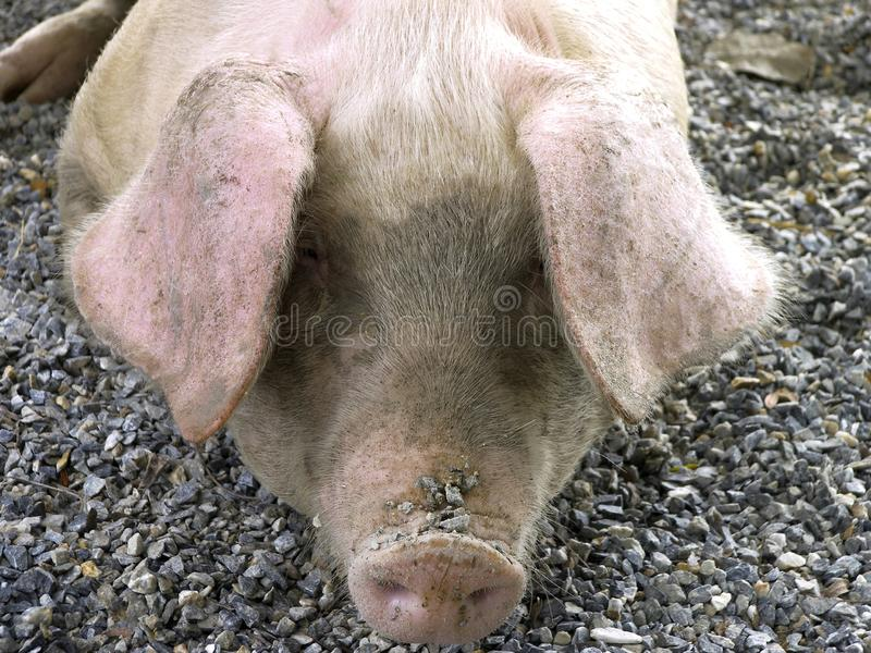Domestic pig. Outdoors Sus scrofa domestica royalty free stock photo