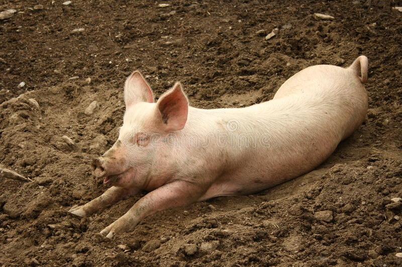 Domestic pig. Lying in mud royalty free stock photos