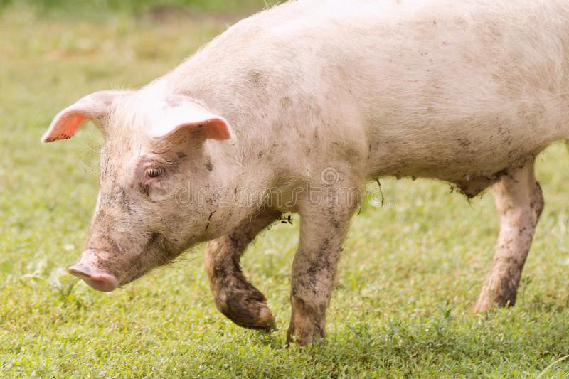 Walking domestic pig. The domestic pig is walking on grass, pig breeding and farming concept royalty free stock photo