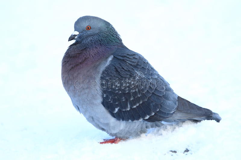 Domestic pigeon. The domestic pigeon sitting in the snow royalty free stock photography