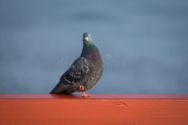 Domestic pigeon Columba livia stock images