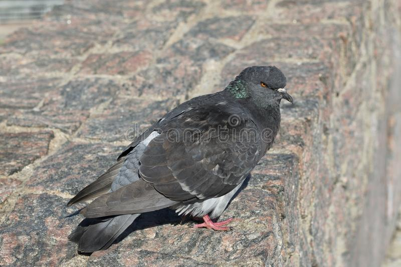 Domestic pigeon or dove. Domestic pigeon, rock dove on the stone park wall royalty free stock image