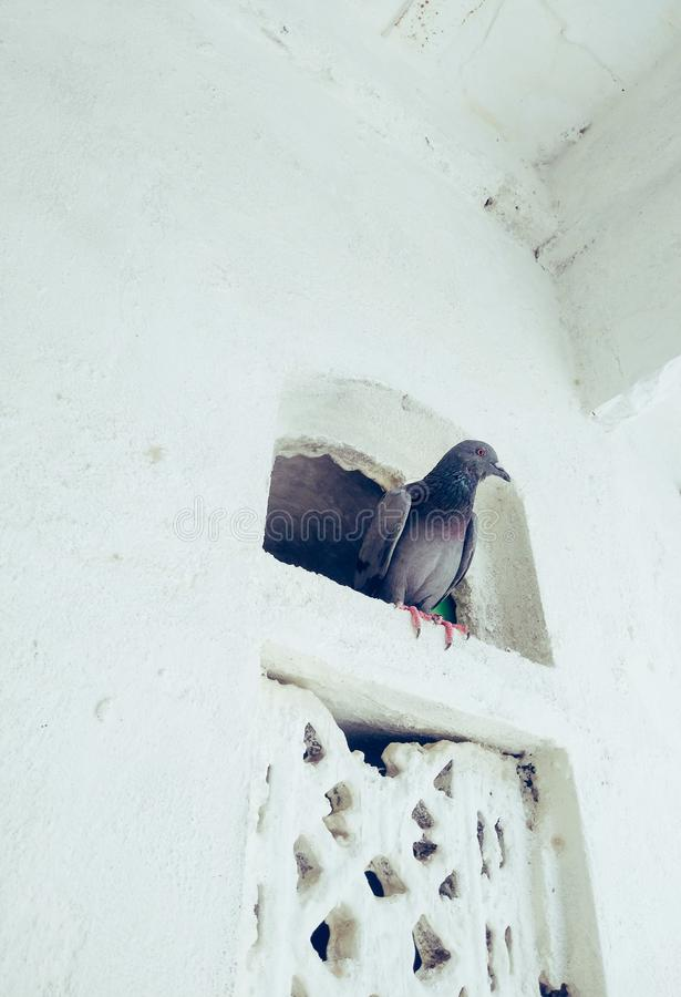 A domestic pigeon in a small window. stock image