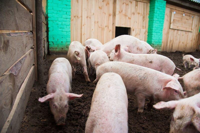 Domestic pigs on a farm. Domestic pigs. Pigs on a farm in the village royalty free stock photos