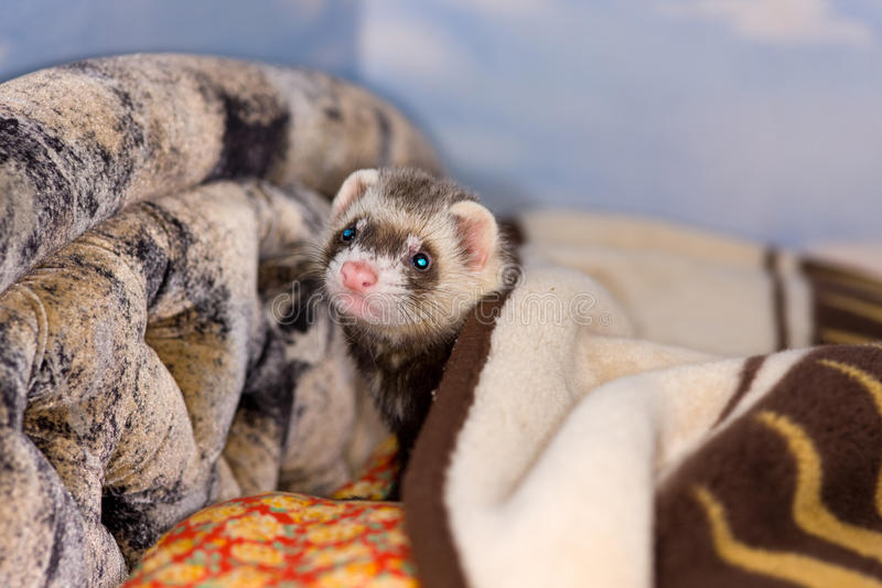 The domestic polecat. Plays on sofa in house royalty free stock images