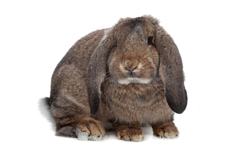 Download Domestic rabbit stock image. Image of long, white, ears - 16661327