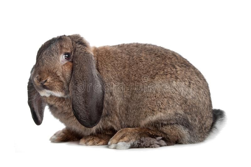 Domestic rabbit. Isolated on a white background stock photo