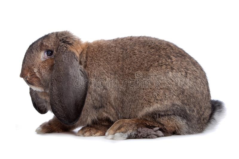 Domestic rabbit. Isolated on a white background stock photos