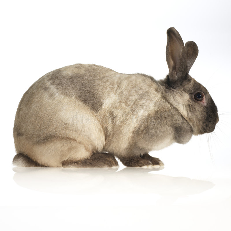 Domestic rabbit. (side view, white background stock image