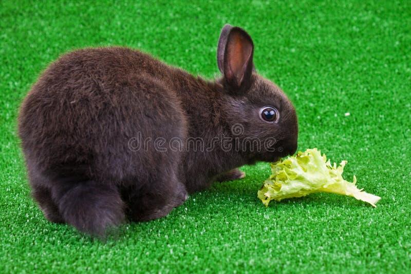 Domestic rabbit eating salad. Cute little black domestic rabbit eating a salad royalty free stock photos