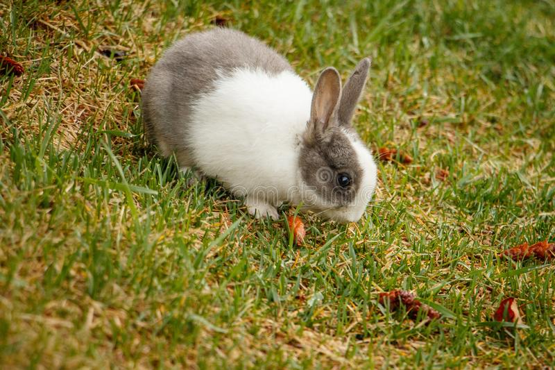Domestic rabbit living wild in town of Canmore, Canada. Wildlife of Canadian Rockies royalty free stock photos