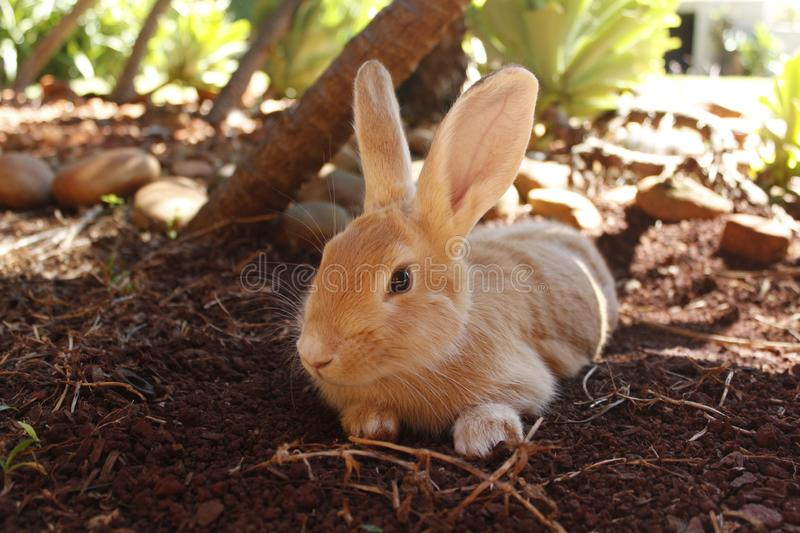 Domestic rabbit lying in the garden. Photo related to Easter or luck, this beautiful rabbit is a symbol of tenderness, nobility and affection royalty free stock photo