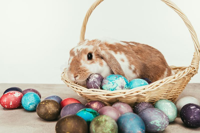 domestic rabbit lying in straw basket with painted stock photography