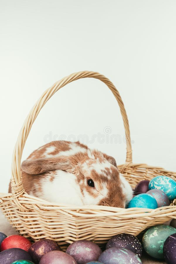domestic rabbit lying in straw basket with painted easter eggs stock photos