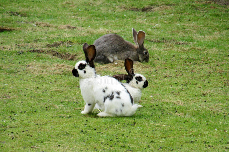 Domestic rabbits on the green grass. White and gray domestic rabbit lying on the green grass and looking forward. Farm domestic animals, rabbits. White rabbit royalty free stock photos