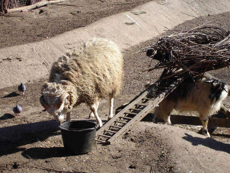 Domestic ram. In a sunny day. Domestic animal royalty free stock photos