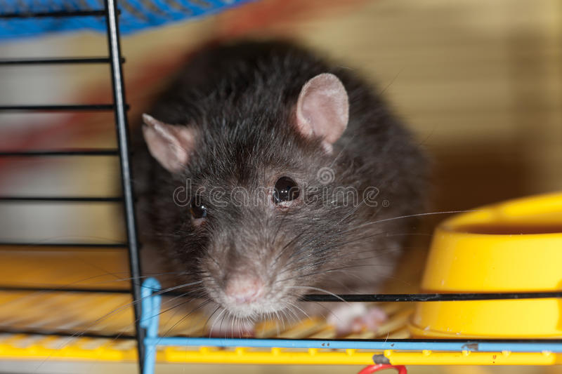 Download Domestic rat close up stock image. Image of animals, glance - 24000611