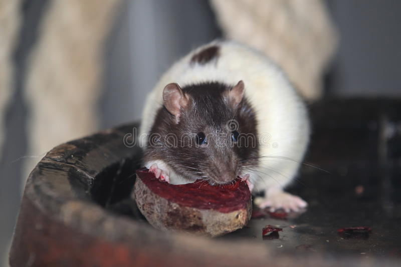 Domestic rat. Eating some food stock photos