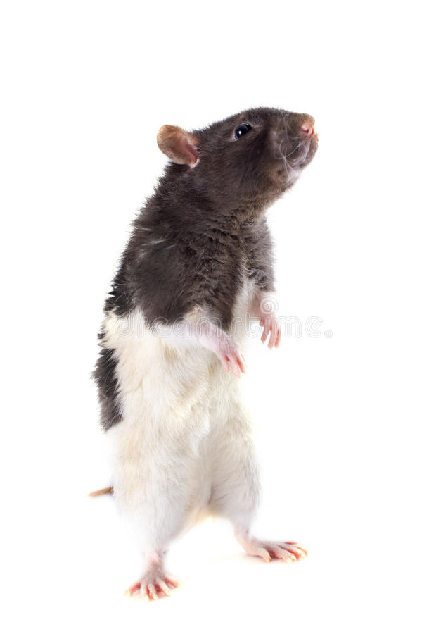 Domestic rat. In front of white background stock images