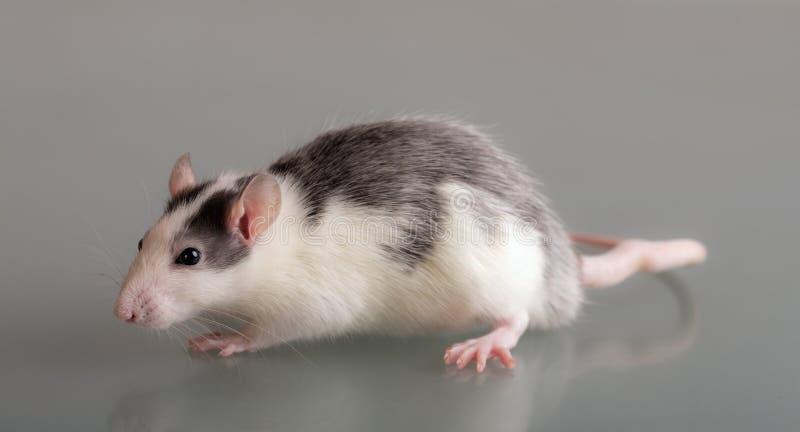 Domestic rat on glass. Studio portrait of a domestic rat on glass stock photos