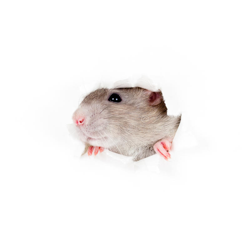 Domestic rat leaning out of paper torn hole stock photo