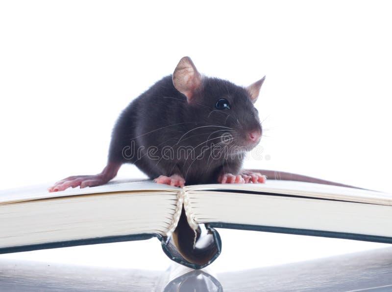 Domestic Rat Sitting Stock Images