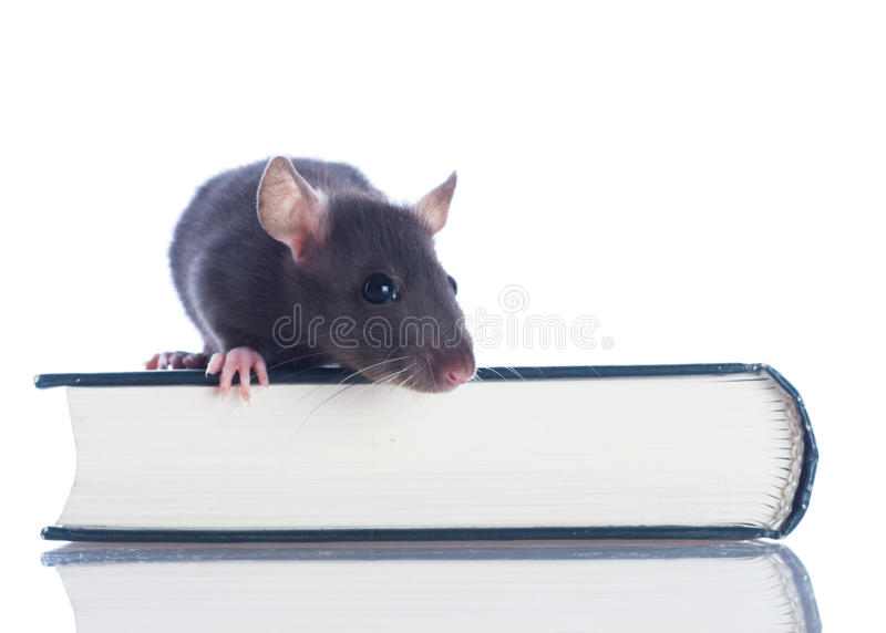 Download Domestic rat sitting stock photo. Image of formation - 10575216