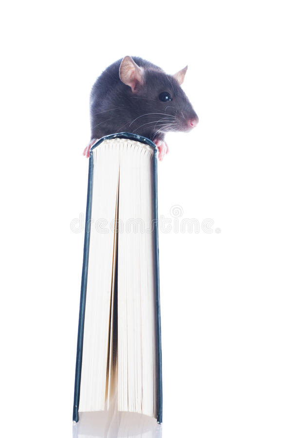 Download Domestic rat sitting stock image. Image of animal, book - 10575217