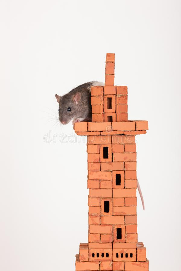 Domestic rat on top. Of a brick tower stock photography