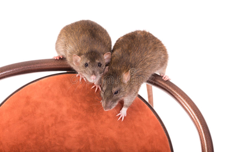 Domestic rats on a chair. Two brown domestic rats on a chair, isolated stock images