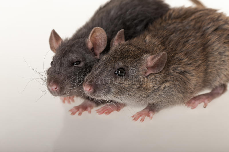 Domestic rats closeup. Portrait of black and brown domestic rats royalty free stock photos