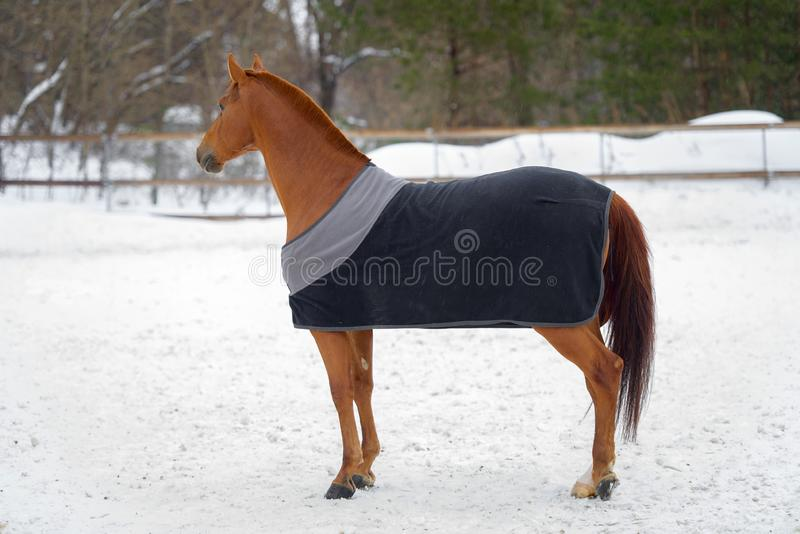 Domestic red horse walking in the snow paddock in winter. The horse in the blanket. Domestic bay horse walking in the snow paddock in winter. The horse in the royalty free stock photo