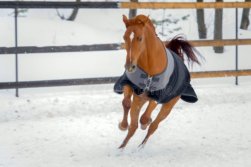 Domestic red horse walking in the snow paddock in winter. The horse in the blanket. The concept of keeping Pets stock images