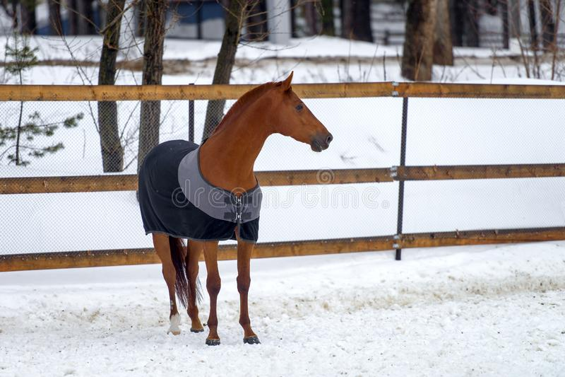 Domestic red horse walking in the snow paddock in winter. The horse in the blanket. The concept of keeping Pets stock image
