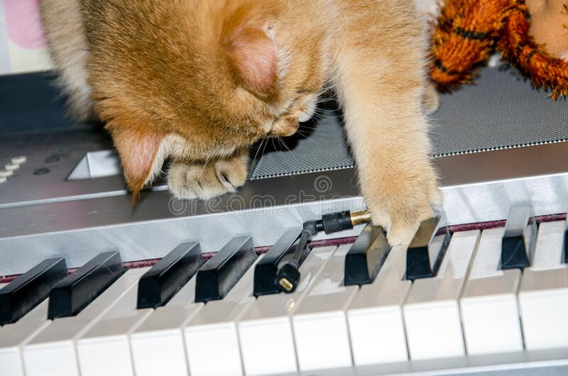 Domestic red thoroughbred cat plays with a wire on the electronic piano, the concept of home schooling in quarantine.  stock photography