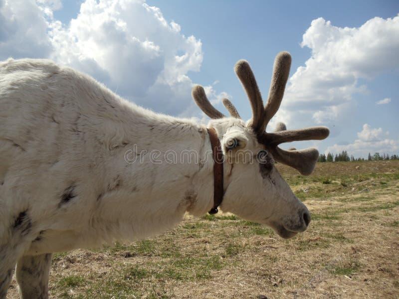 Domestic reindeer stock photo