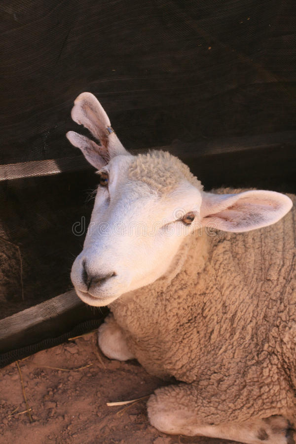Download Domestic Sheep stock photo. Image of dirt, close, look - 15634780