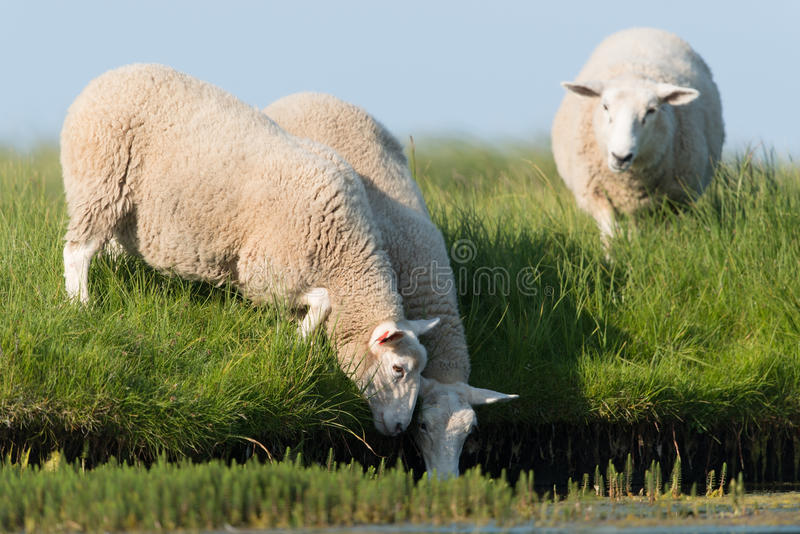 Domestic Sheep stock images