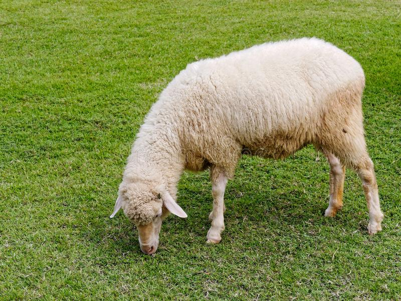 Domestic sheep grazing or eating green grass in meadow or pasture in a farm stock photography