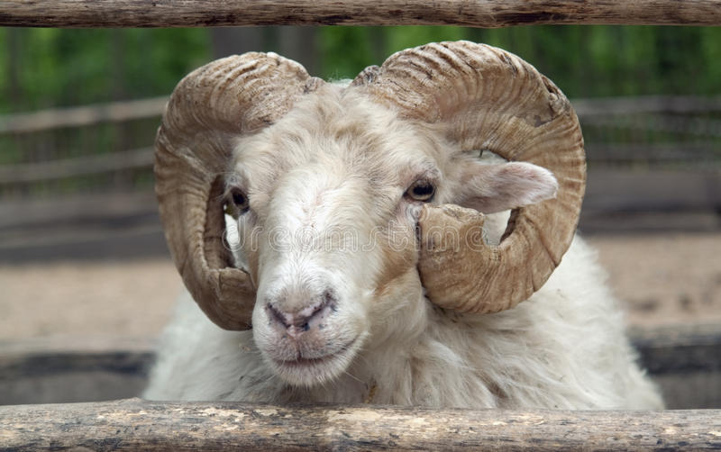 Download Domestic sheep stock photo. Image of head, front, outdoors - 34437732
