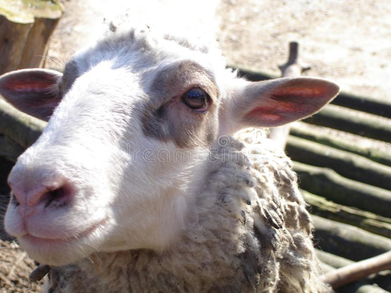 Domestic sheep. In a sunny day. Domestic animal royalty free stock photography